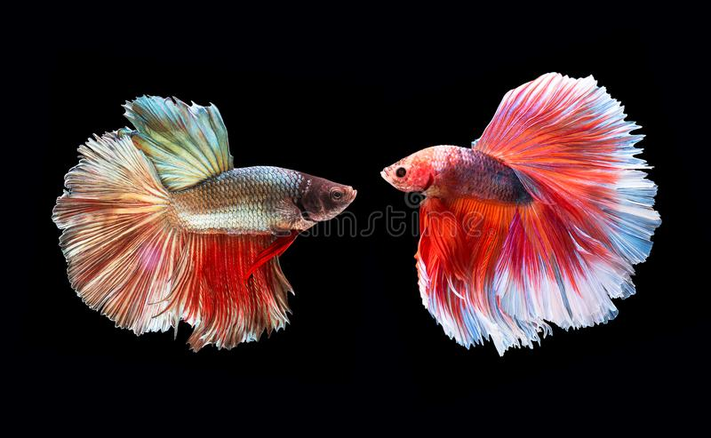 Two beta Fighting Fish,Siamese fighting fish stock photography