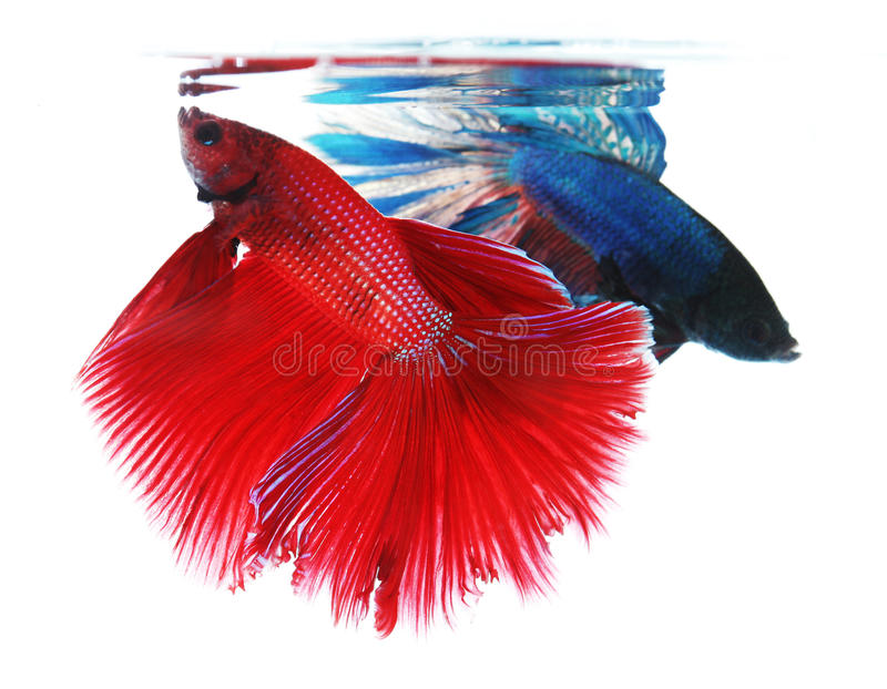 Two betta fishes, siamese fighting fish royalty free stock photography