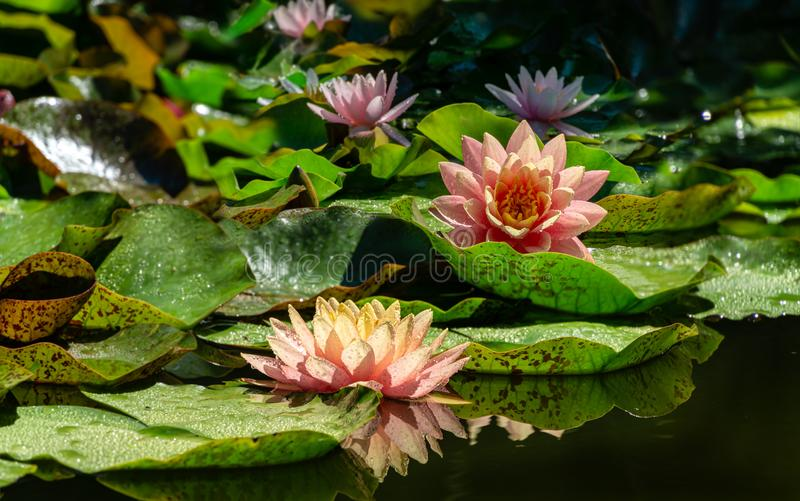 Two big amazing bright pink water lilies, lotus flowers Perry`s Orange Sunset in pond with other nympheas. Water lilies with water drops, reflected in water stock photos