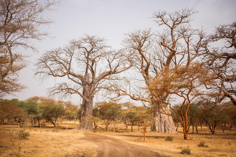 Two Big Baobabs on sandy land. Wild life in Safari. Baobab and bush jungles in Senegal, Africa. Bandia Reserve. Hot, dry climate royalty free stock photography