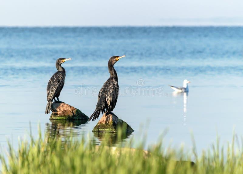 Two big black birds cormorants sitting on rocks on blue water on a sunny summer day. Ukraine, Kakhovka Reservoir royalty free stock photo
