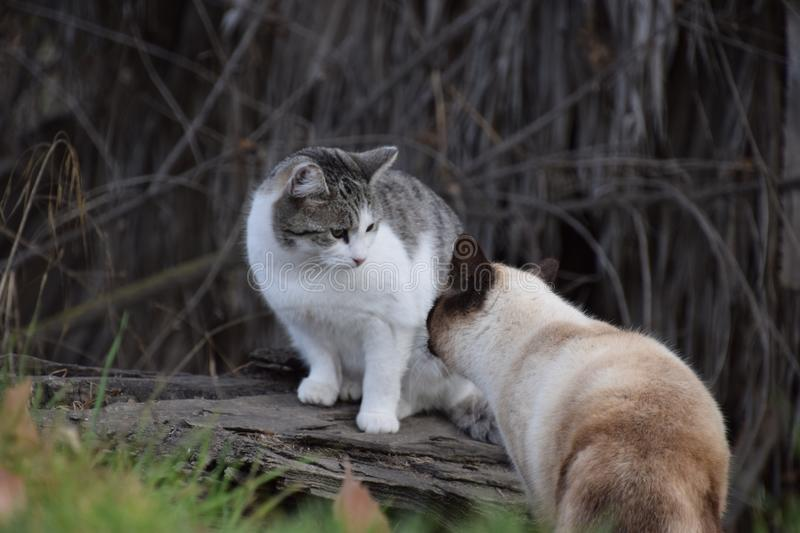 Two big cats looking at each other, pets at Hart Park, Bakersfield, CA. There are plenty of cats roaming around in Hart Park. these two form a perfect pair stock image