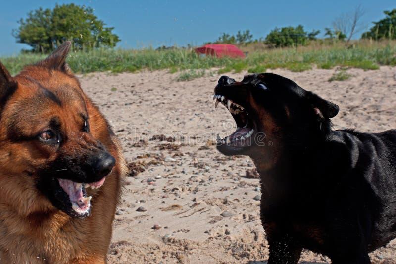 German Shepherd Dog Fight Two big dogs fight sto...