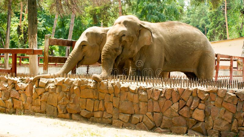 Elephants in the zoo. Two big elephants in the zoo. Animals of the wild. Sunny day. They sit on nature. Brought them from Africa stock photos