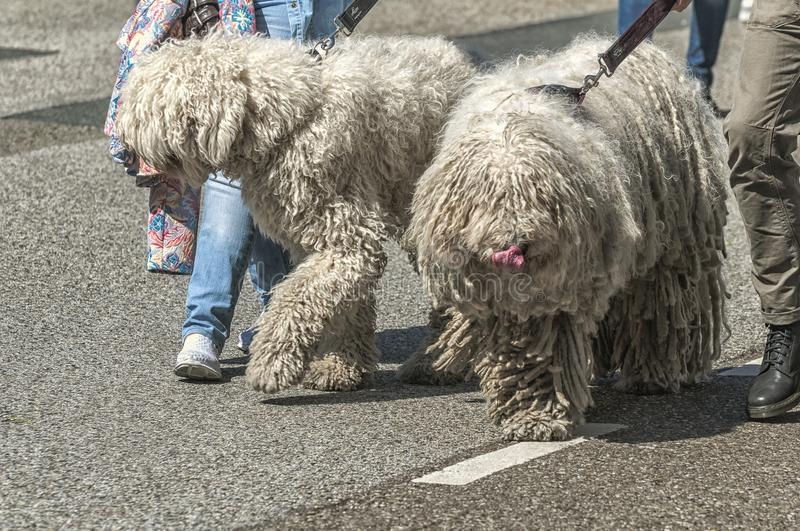 Two big hairy dogs walking on the street stock image
