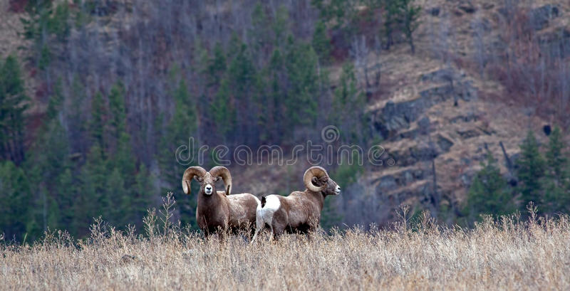 Download Two Big Horn Rams stock photo. Image of wilderness, trees - 28333604