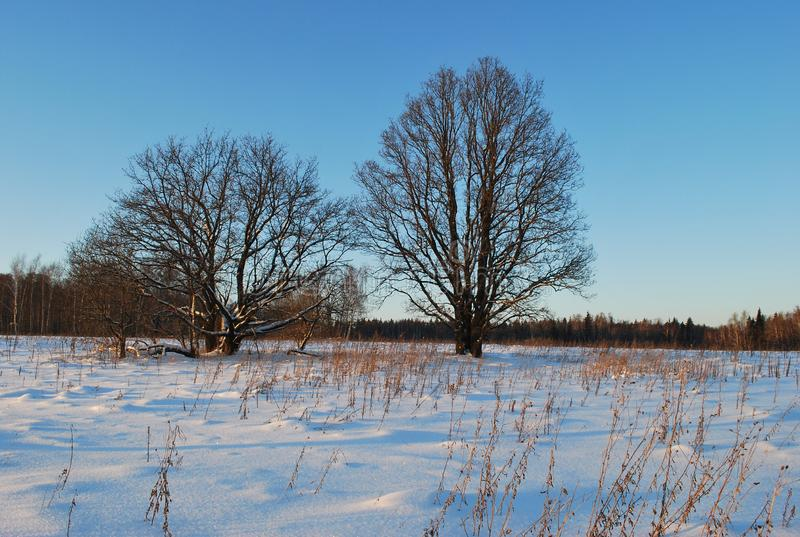 Two big lonely oaks stand in the middle of the snow field. royalty free stock photography