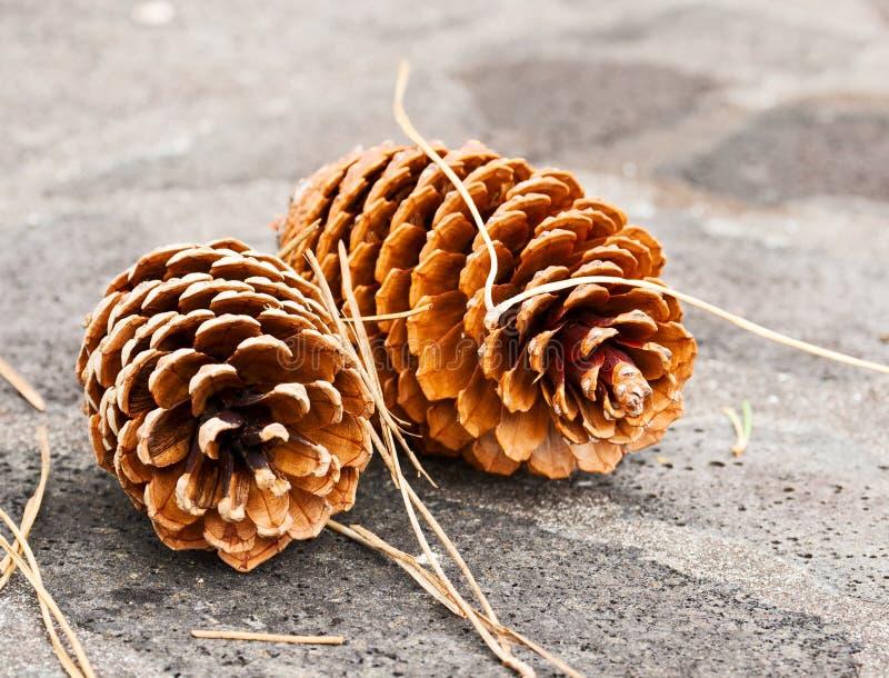 Download Two big pine cones stock image. Image of needles, pine - 25516019