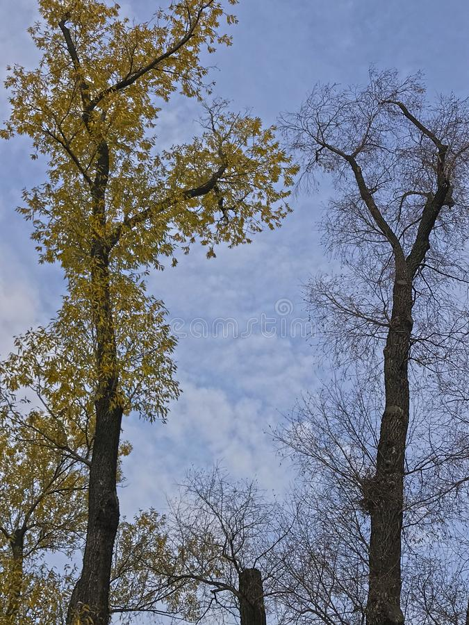 Two big autumn trees in the Park against the blue sky stock photography