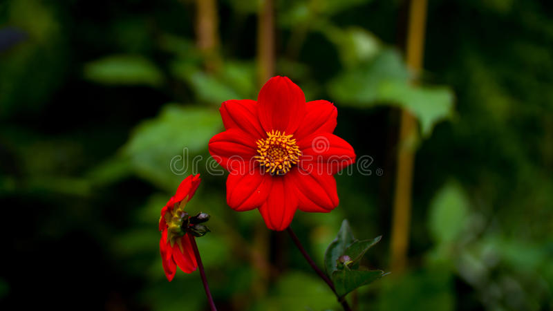 Two Big red flower royalty free stock photos
