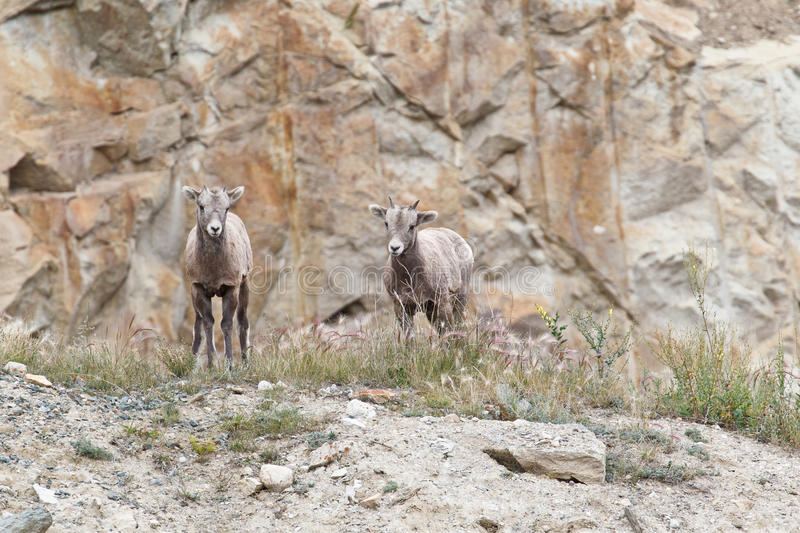 Download Two Bighorn Sheeps, Ovis Canadensis Stock Image - Image: 18968257