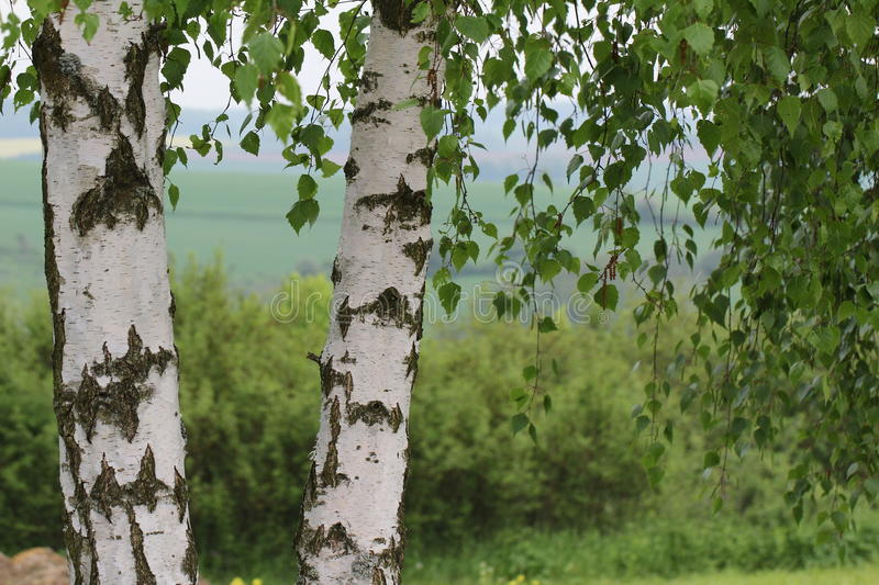 Two birch trees. Leaves of birch in forest stock images