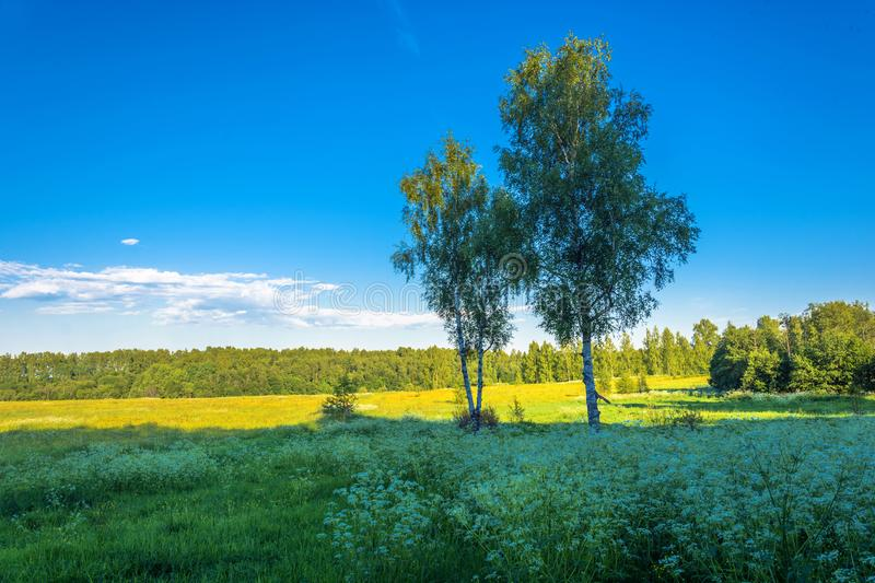 Two birches on a background of yellow field and blue sky. Two birches against a yellow field and blue sky on a Sunny summer evening stock photos
