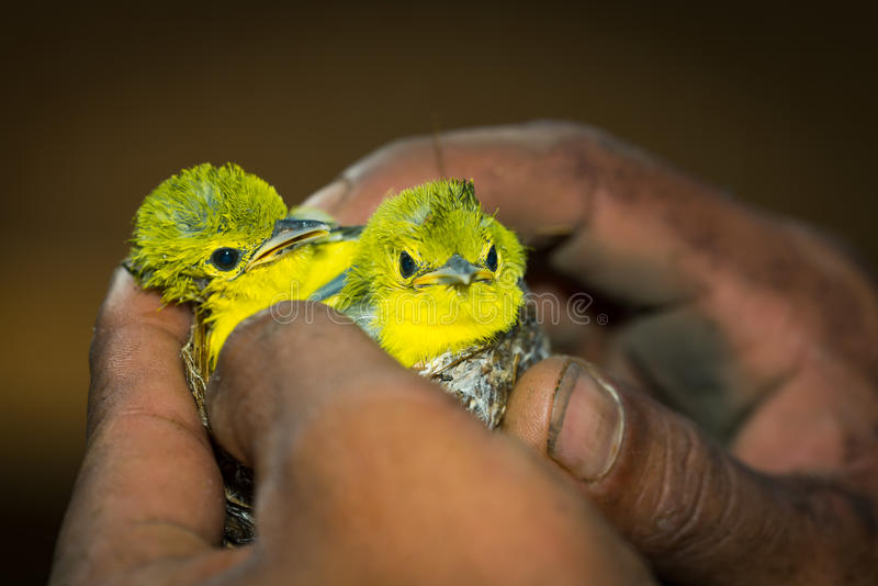 Two bird babies stock photo
