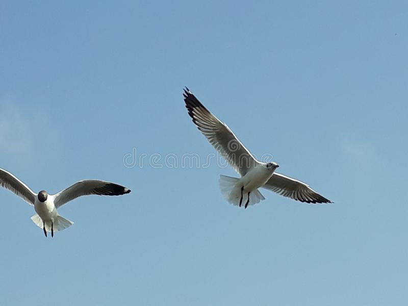 Two Bird flying in the sky royalty free stock photos