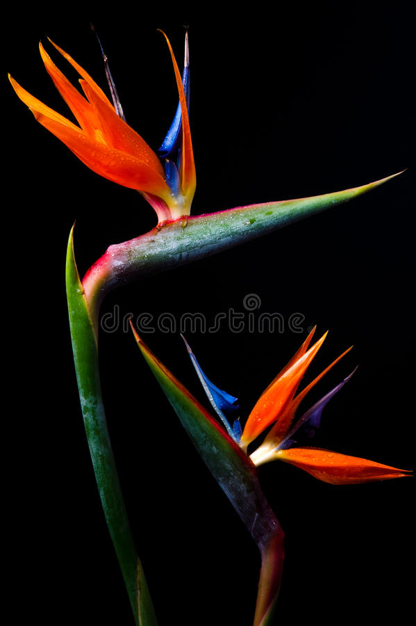 Download Two Bird Of Paradise Royalty Free Stock Photo - Image: 21734665