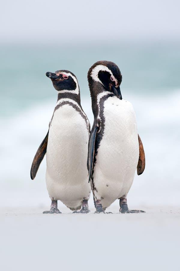 Two bird on the snow, Magellanic penguin, Spheniscus magellanicus, sea with wave, animals in the nature habitat, Argentina, South stock photo