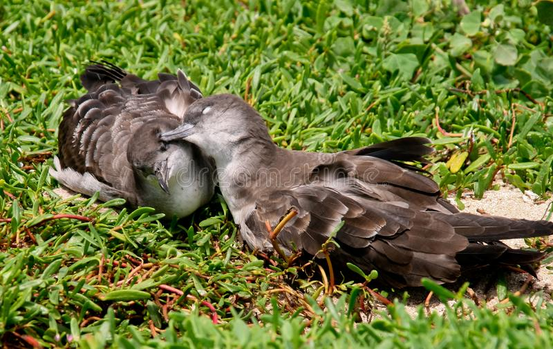Two birds that appear to be snuggling. On field of green vegetation royalty free stock images
