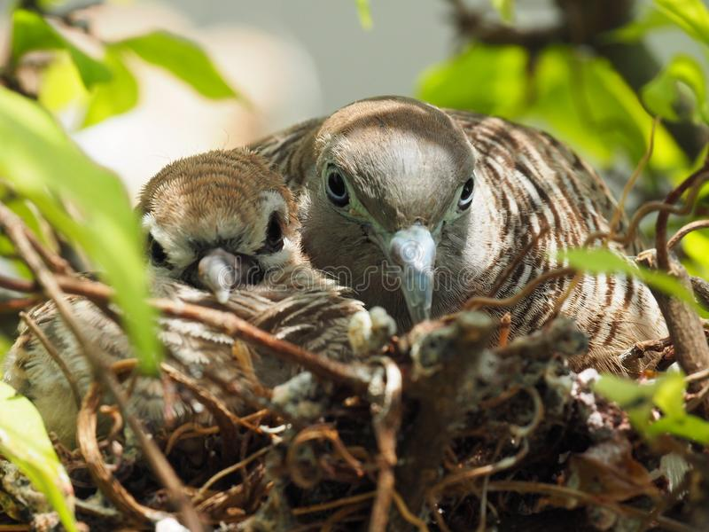 Two Birds In Bird`s Nest, Baby Bird With Mother Portrait royalty free stock images