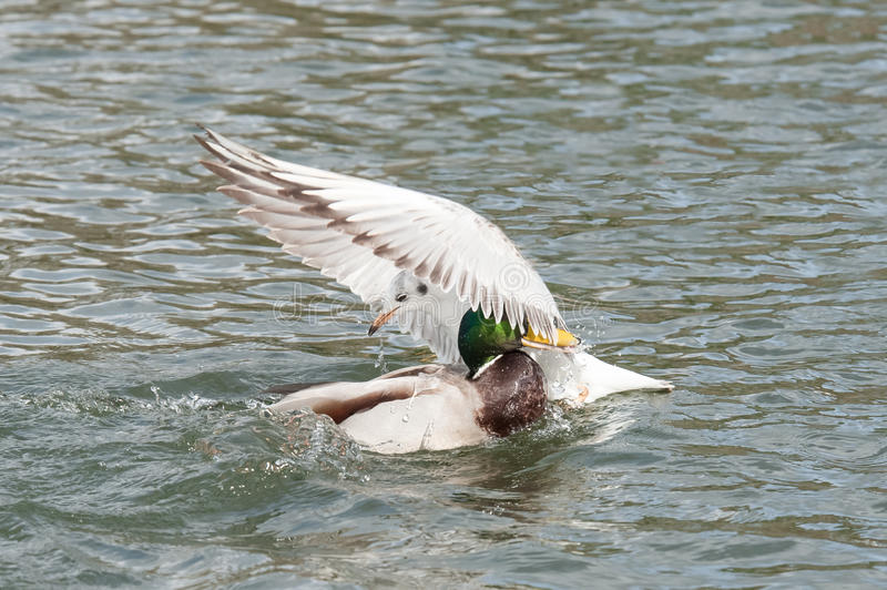 When two birds collide. A seagull and a duck colliding on water royalty free stock photos