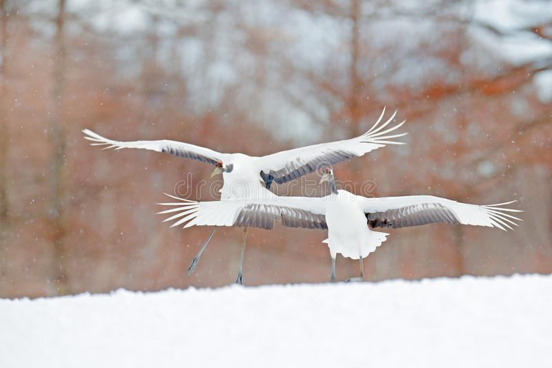 Two birds dancing. Flying White two birds Red-crowned crane, Grus japonensis, with open wing, blue sky with white clouds in backgr. Ound, Hokkaido, Japan. Cranes stock photo