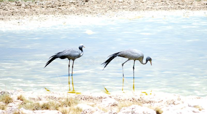 Park Etosha. Two birds in Etosha park stock photo