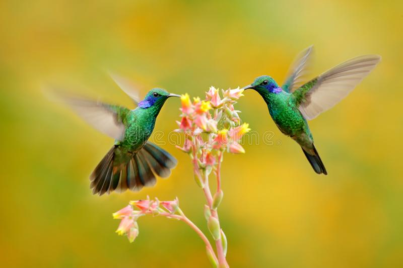 Two birds with orange flower. Hummingbirds Green Violet-ear, Colibri thalassinus, flying next to beautiful yellow flower, Savegre,. Costa Rica. Action wildlife stock images