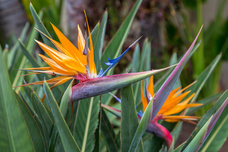 Two Birds Of Paradise stock images