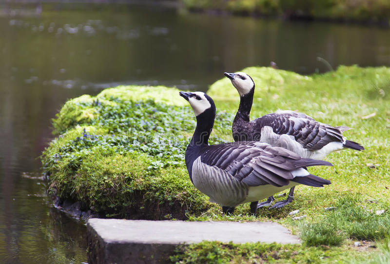 Two birds on a pond royalty free stock photo