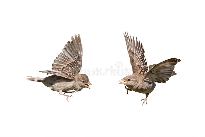 Two birds sparrows with outstretched wings royalty free stock photo