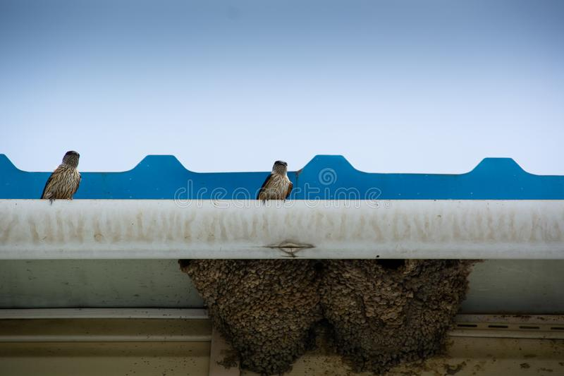 Two birds swallow are sitting on the edge of roof. Swallow nest under roof stock photos