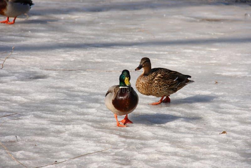 Two-birds-walking-on Ice Stock Photos