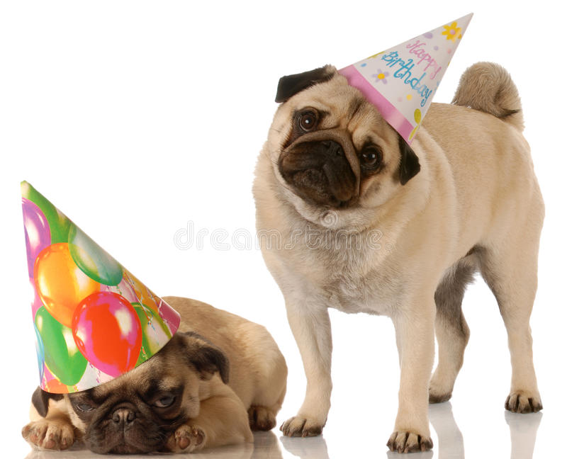Two birthday dogs. Two pug dogs wearing cute birthday hats on white background royalty free stock photo
