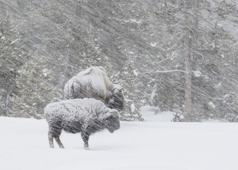 Bison in a windy blizzard in the forest royalty free stock photo