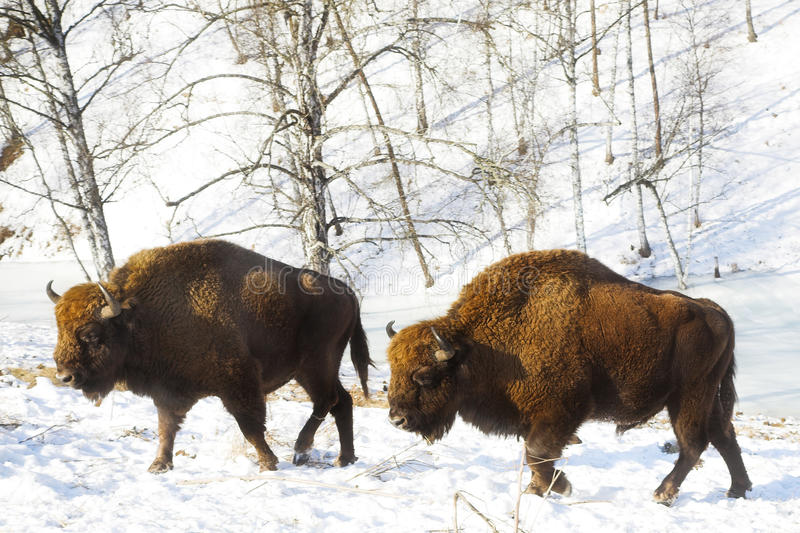 Download Two bisons stock photo. Image of cold, horn, snow, altai - 19585738