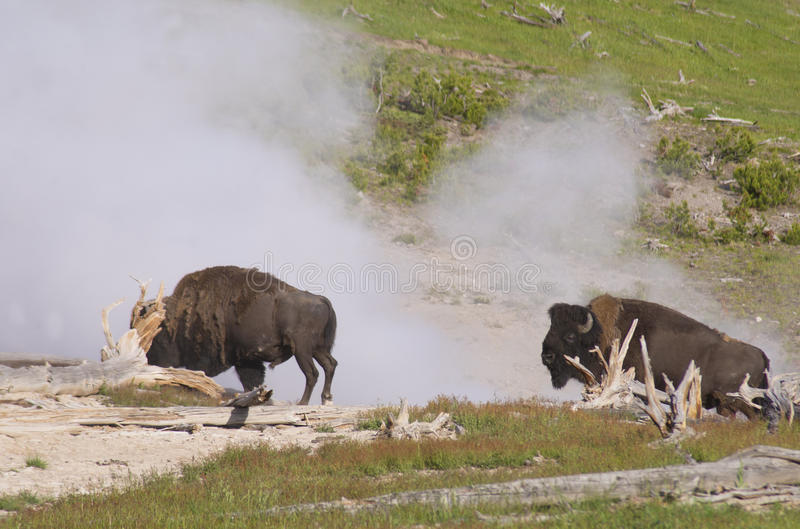 Download Two Bisons Near A Spewing Geyser. Stock Image - Image of brown, beef: 32874833