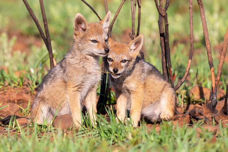 Two Black Backed Jackal puppies play in short green grass to develop skills royalty free stock photos