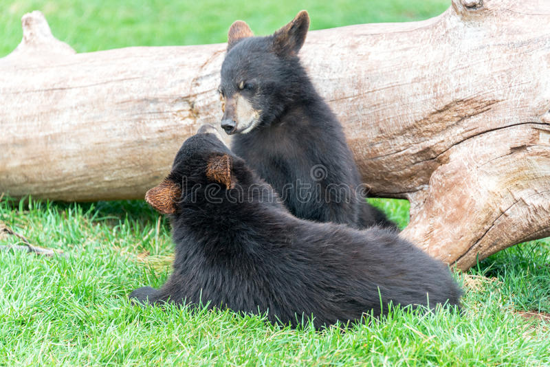 Two Black Bears Playing stock photography