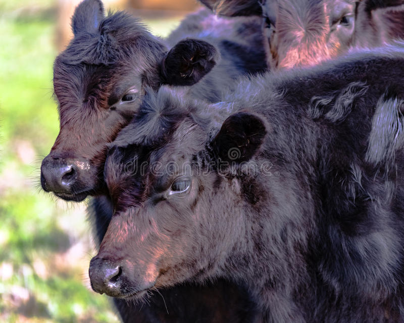 Two black beef heifers. Two black Angus crossbred heifers with rough winter coats royalty free stock photography