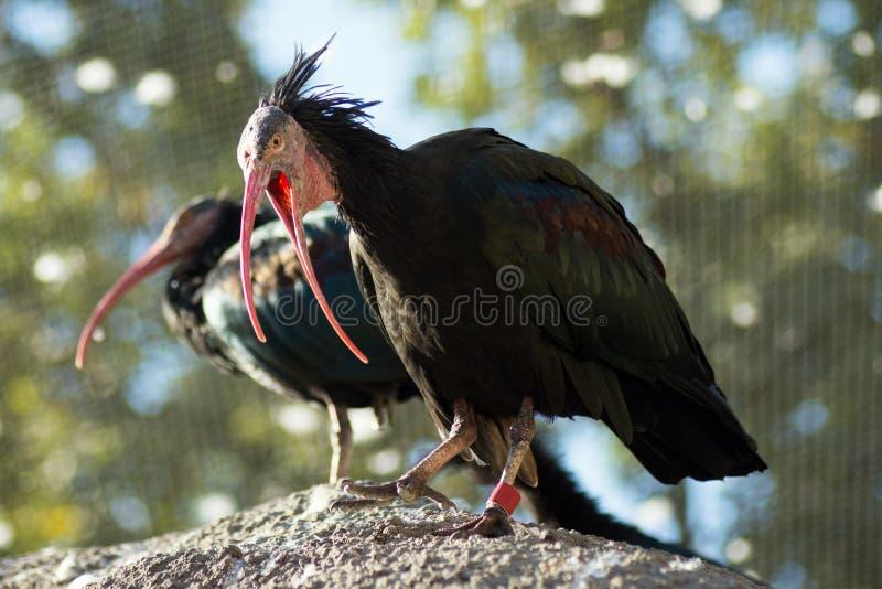 Two black birds. Animal portrait of two black birds in ZOO royalty free stock photo