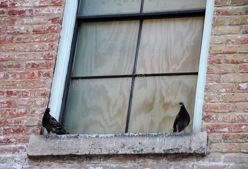 Two Black Birds on a Boarded Window Ledge. Two black birds are sitting on the ledge of a wood boarded window on an old brick building stock photo