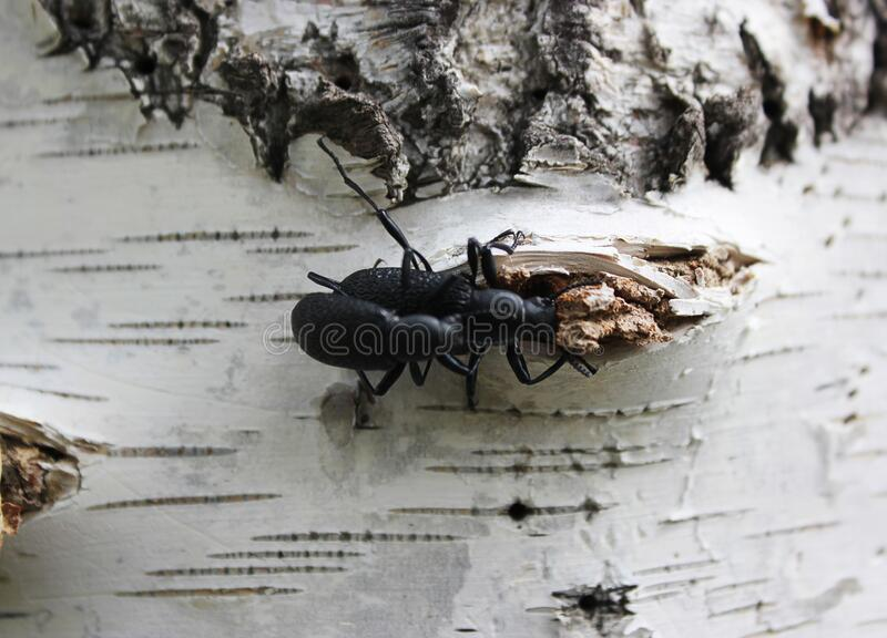 Two black bugs couple. On a birch royalty free stock photo