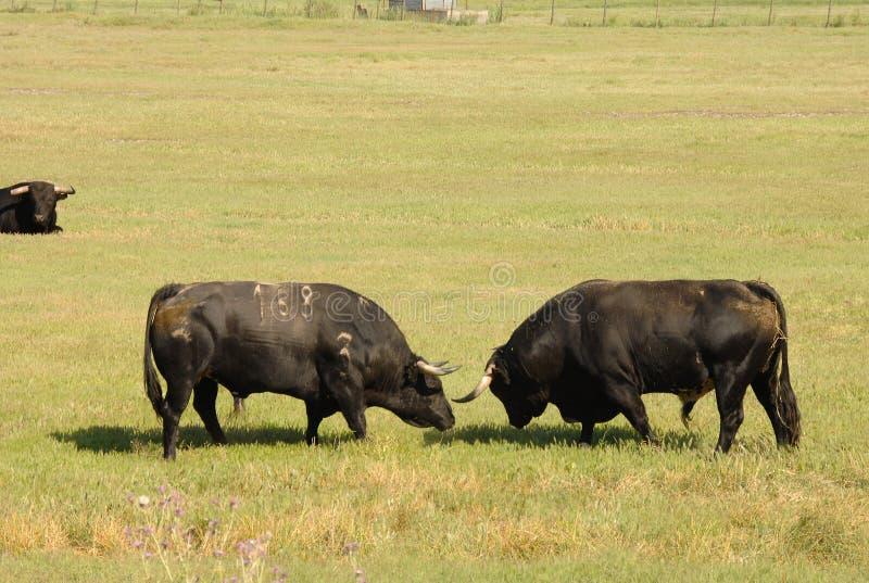 Two black bulls fighting royalty free stock image