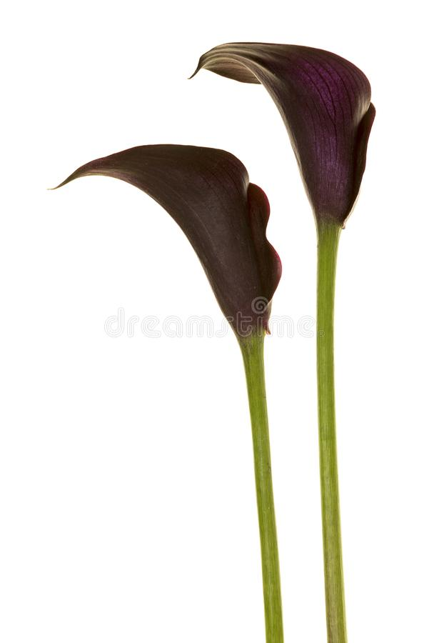 Two black calla lilly flowers royalty free stock photo