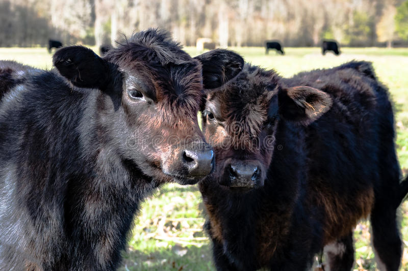 Two black calves. Two black Angus crossbred calves with cattle in the background stock photos