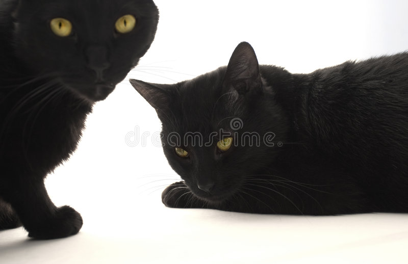Download Two black cats stock photo. Image of kitty, looking, cute - 1746630