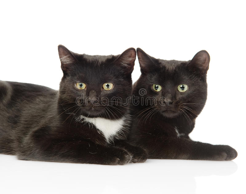 Two black cats looking at camera. isolated on white background.  royalty free stock images