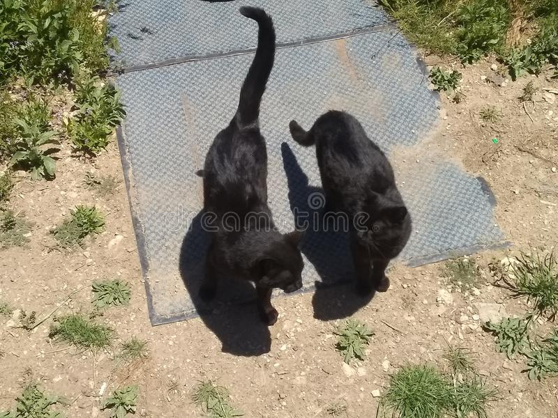 Two black cats on rug. Two black cats on blue rug on ground with dirt on grass royalty free stock images