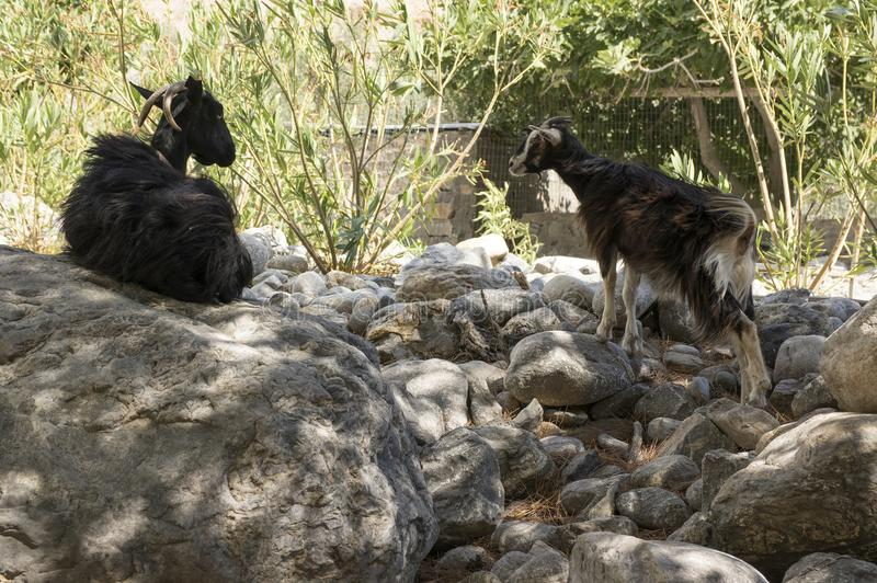 Two black cretan goats mother and child talking stock image