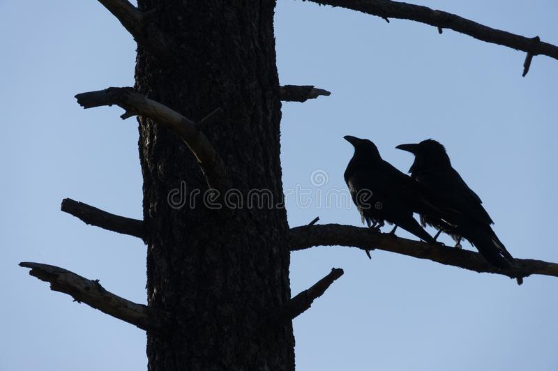 Two black Crows cuddle at Tunnel View, Yosemite National Park, C stock images